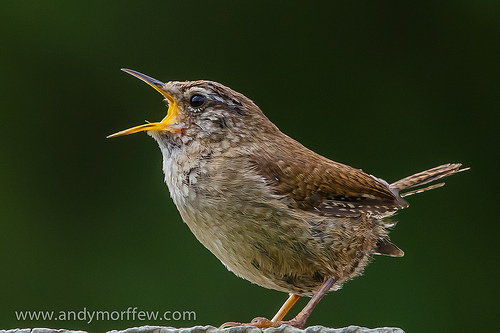 singing-bird