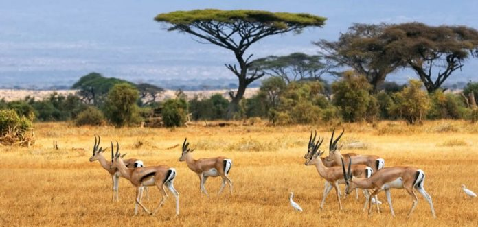 antelopes in Savannah
